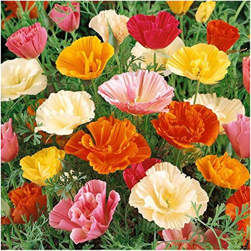 Package of 2,000 Seeds, Mission Bells California Poppy (Eschscholzia californica) Non-GMO Seeds By Seed (Eschscholzia California Poppy)