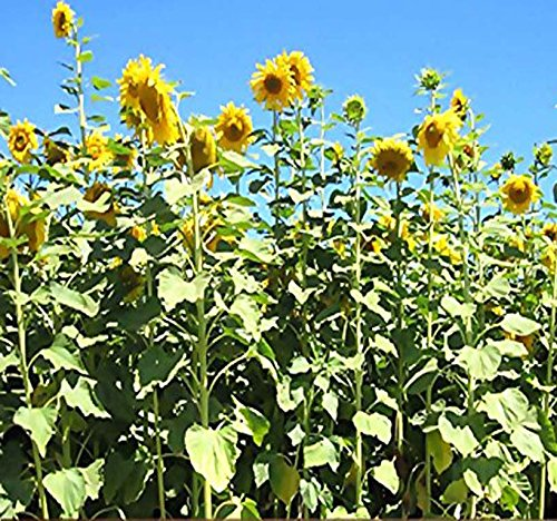 1000 x Mammoth Gray Grey Stripe HUGE Sunflower - Seed Seeds - 9 - 12 Feet Tall - EXTENDED BLOOMS - Zones 1-10 - By MySeeds.Co -