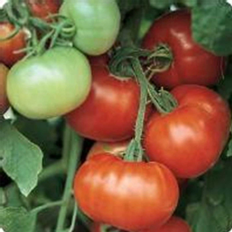Tomato Garden Seeds - Super Fantastic Hybrid - 100 Seeds - Non-GMO, Vegetable Gardening Seed