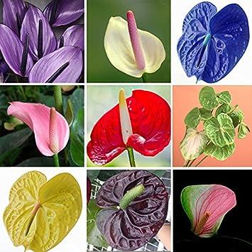 Amazon.com : Anthurium Plant 50 Seeds Year Round Indoor Air ... on anthurium anceps, anthurium albovirescens, anthurium sect. digitinervium, anthurium atroviride, anthurium albidum, anthurium aristatum, zantedeschia aethiopica, anthurium angustilaminatum, anthurium albispatha,