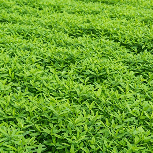 Garden Cover Crop Mix Seeds - 50 Lbs Bulk - Blend of Gardening Cover Crop Seeds: Hairy Vetch, Winter Peas, Forage Collards, Winter Rye, More by Mountain Valley Seed Company