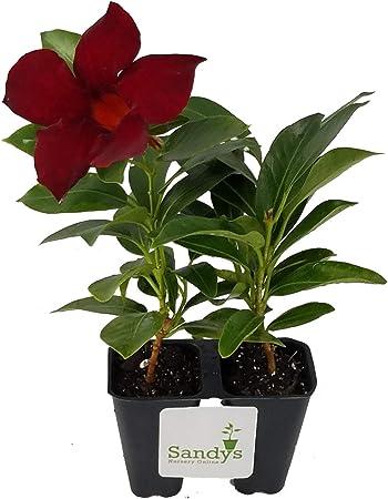 Amazon Com Sandys Nursery Online Mandevilla Tropical Plant