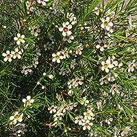 Flor de Cera - Maceta 15cm. - Altura