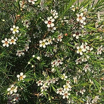 Flor de Cera - Maceta 15cm. - Altura aprox. 50cm. - Arbusto exterior - Planta viva - (Envíos sólo a Península): Amazon.es: Jardín