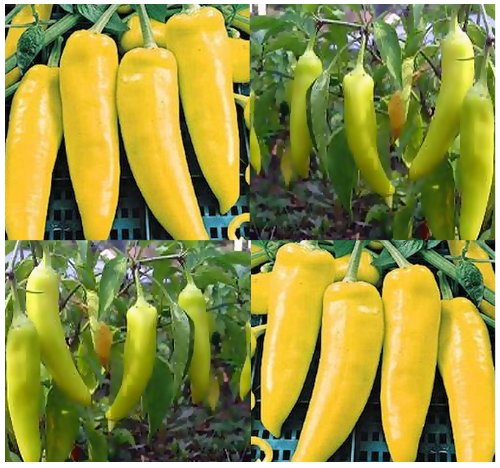 (100 HUNGARIAN WAX HOT Pepper seeds YELLOW TO RED dwarf and bushy and approx. 15