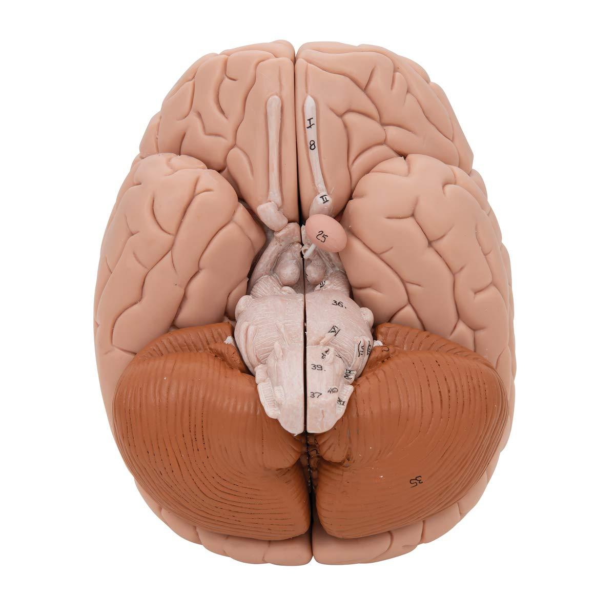 3B Scientific Deluxe 8-Part Brain by 3B Scientific (Image #8)