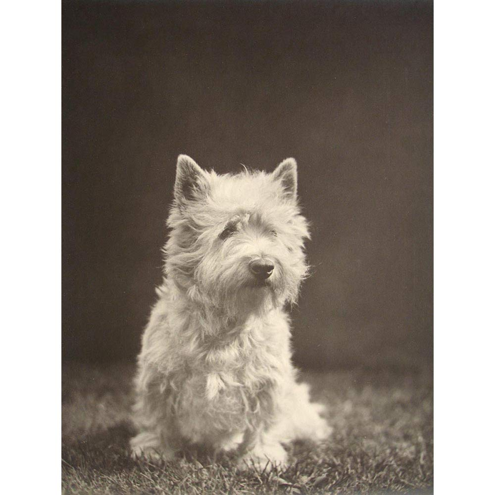 Wee Blue Coo Photography Black White 1930S Westie Dog Animal Unframed Wall Art Print Poster Home Decor Premium