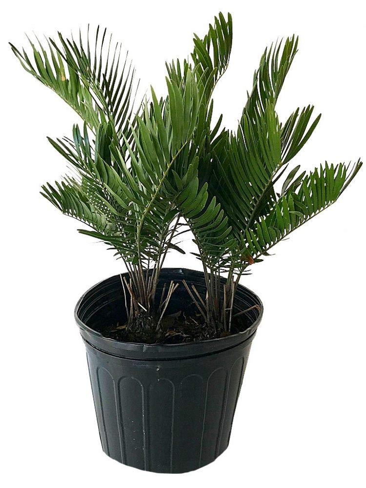PlantVine Zamia pumila, Zamia floridana, Coontie - Large - 8-10 Inch Pot (3 Gallon), Live Plant - 4 Pack