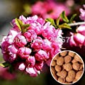 10PCS Prunus triloba seed, Rehmannia glutinosa, Potted planting, Flowering Plum Tree Flower Seeds, flowering plants