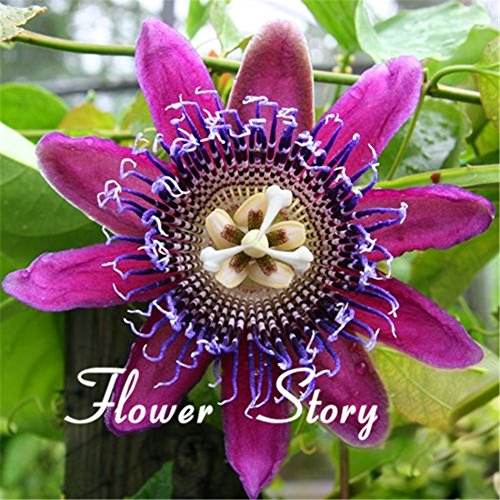 - 40 Seeds Passion Flower (Passiflora Caerulea) fresh fragrant bloom huge fruit, robust climber Original Package Free shipping