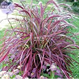 New Pennisetum setaceum Fireworks Fountain Grass 50+ Seeds