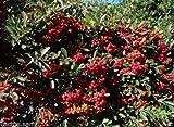 50 Pyracantha Seeds, Scarlet Firethorn, Rosaceae, Red Berry Bush, Vine Climber
