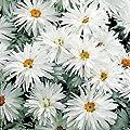 50+ Shasta Daisy/Crazy Daisy Flower Seeds / Leucanthemum /Perennial