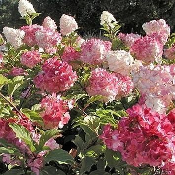 4 x Rispen-Hortensien Pflanzen VANILLE FRAISE LIMELIGHT WIMS RED *NEUHEITEN*