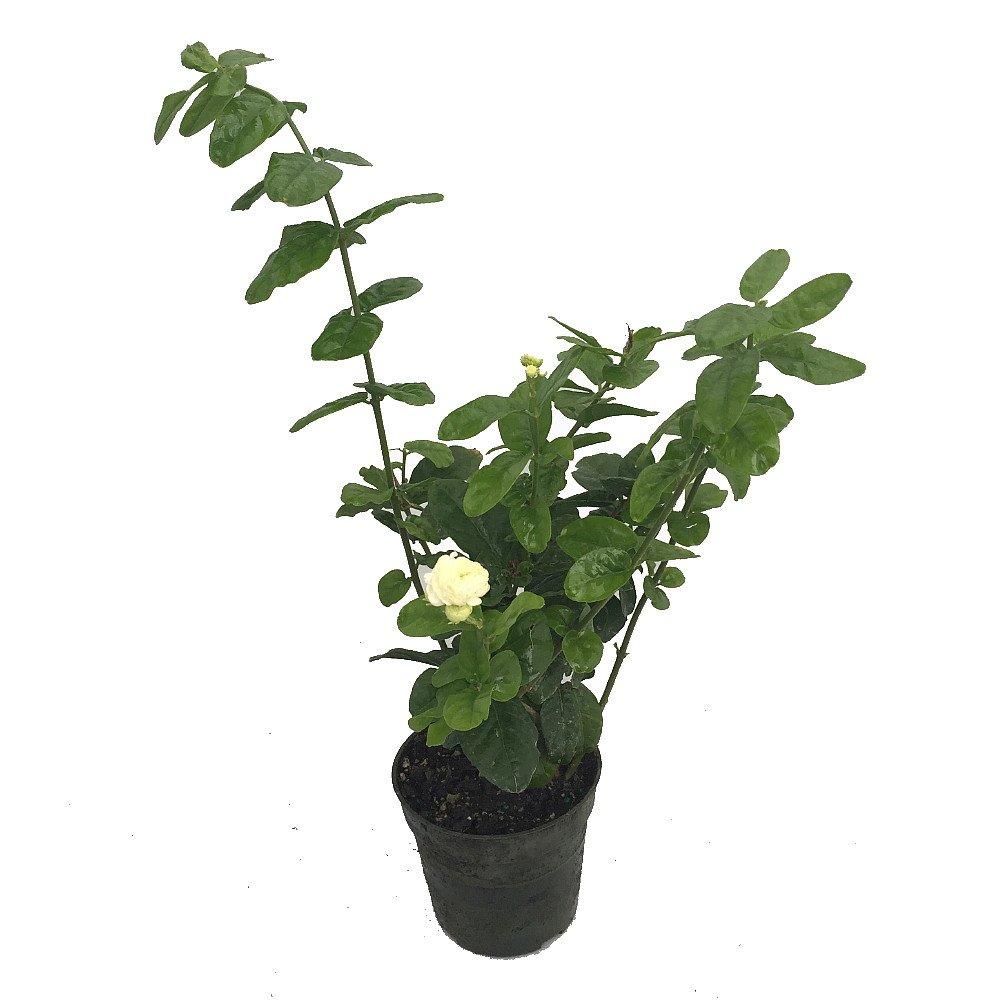 Amazon arabian jasmine plant grand duke of tuscany amazon arabian jasmine plant grand duke of tuscany fragrant 4 pot garden outdoor izmirmasajfo