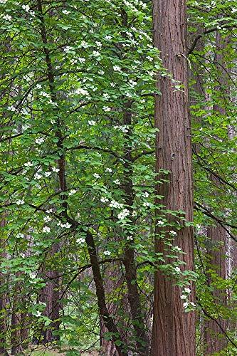 Flowering Dogwood Tree Yosemite NP, CA by Jamie & Judy Wild/Danita Delimont Art Print, 19 x 28 ()
