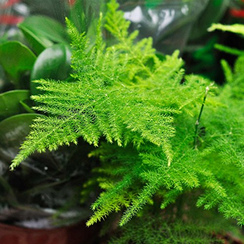 Asparagus Ferns (Asparagus Fern Seeds - A. plumosa nanus - Approx 100 seeds - Mountain Valley Seed Company)
