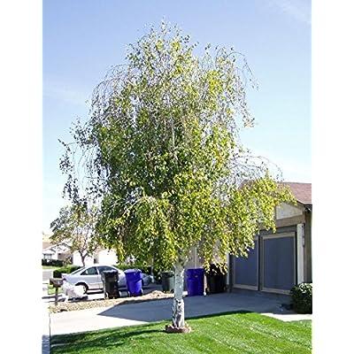 Weeping White Birch, (Silver Birch), Betula pendula alba, 50 Tree Seeds : Garden & Outdoor