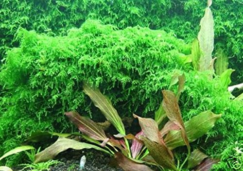 Tree Ball Moss (Hot Sale! Xmas moss-Live Aquarium Brackish water fish tank plant)