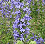 "Great Blue Lobelia ""Lobelia Siphilitica"" 100 Seeds"