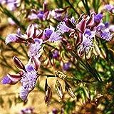 Chinese Senega Seeds (Polygala tenuifolia) 100+ Rare Medicinal Herb Seeds