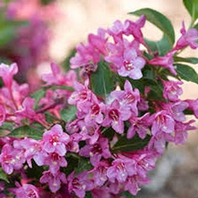 AchmadAnam - Live Plant - Weigela Florida Weeping Pink, Weigela, (6) 2 1/2 yr Qrt, : Garden & Outdoor