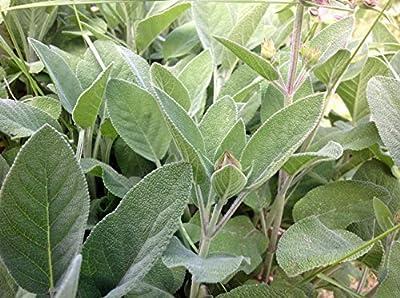 Sage Seed, Broad Leaf, Heirloom, Organic, Non Gmo, 100 Seeds, Sage Herb, Spice