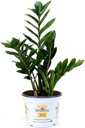 Rare ZZ indoor Plant,Zanzibar Gem Easy to Grow Live Houseplant growing