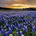 Outsidepride Texas Bluebonnet