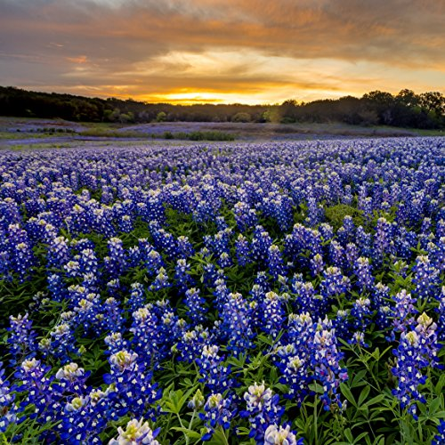 Outsidepride Texas Bluebonnet Wildflowers Seed - 1 LB by Outsidepride (Image #5)