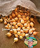 Yellow Ebenezer Onion Sets