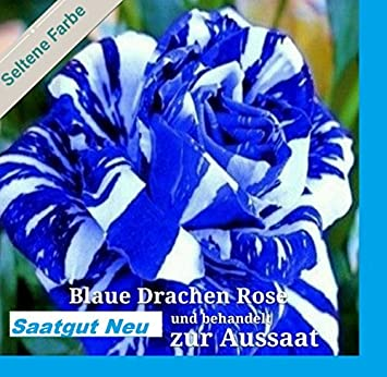 X Blaue Drachen Rose Wei Blaue Streifen Frisch Saatgut