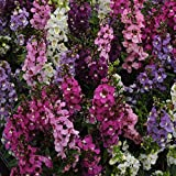 Outsidepride Angelonia Serenita Seed Mix - 15 Seeds