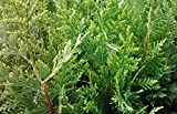 Sandys Nursery Online Thuja Green Giant Arborvitae Live Plants Lot of 30 Trees - Ships in 3 inch deep pots 10-14 inches Tall with Soil + (1) August Beauty Gardenia Starter Plant