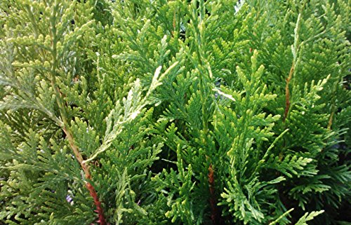Sandys Nursery Online Thuja Green Giant Arborvitae ~Lot of 30~3 inch deep Pot- 12+ inches Tall + (1) Gardenia August Beauty Stater Plant