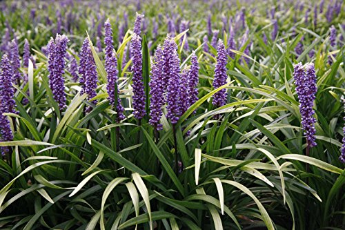 Super Blue Liriope Qty 20 Live Plants Groundcover by Florida Foliage (Image #3)