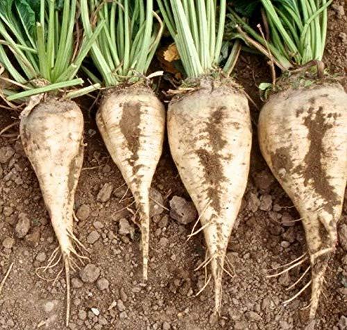 Sugar Beets Seed - Sweet Beet Root Vegetable & Fodder Natural Seeds, Bulk Seeds, 1/4 oz ()