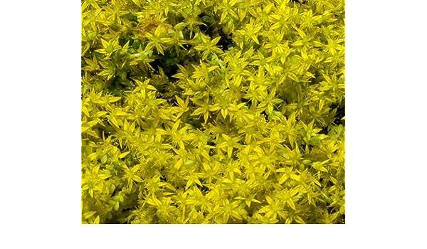 STONECROP 30+ SEDUM ELLACOMBIANUM PERENNIAL FLOWER SEEDS YELLOW GROUND COVER