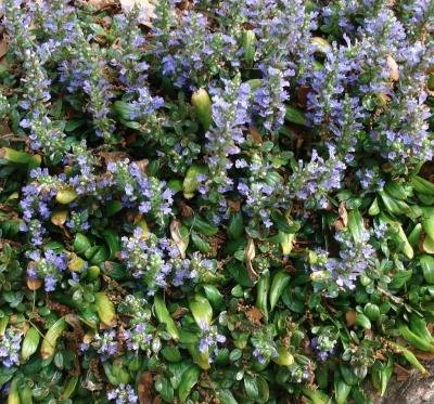 Classy Groundcovers - Bugleweed 'Chocolate Chip' 'Valfredda', A. tenorii {25 Pots - 3 1/2 in.} by Classy Groundcovers (Image #8)