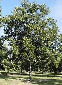 1 Bare Root of Amling Pecan Tree 4-5'