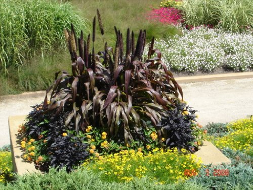 50 PURPLE MAJESTY MILLET (Pearl, Ornamental, or Black Leaf Millet) Ornamental Grass Pennisetum Glaucum Seeds