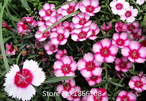 home & garden Promotion! 200 Dianthus Seeds , 16 kinds mixed packed, Sweet William flower, easy to grow ,high germination DIY ga (William Grow Sweet)