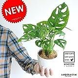 LAND PLANTS 【観葉植物】 マドカズラ 4号