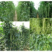 Yardlong Bean 20 Seeds (Asparagus Bean, Snake Bean, Chinese Long Bean, Noodle Beans) growing up to 80 cm-1 m long