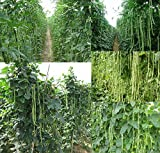 buy Yardlong Bean 20 Seeds (Asparagus Bean, Snake Bean, Chinese Long Bean, Noodle Beans) growing up to 80 cm-1 m long now, new 2018-2017 bestseller, review and Photo, best price $4.95