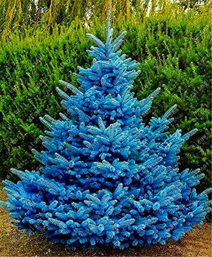 - Ani Love Crab 20pcs/ Spruce tree Bonsai Home Garden Plant Evergreen Colorado Blue Spruce Tree Courtyard planters