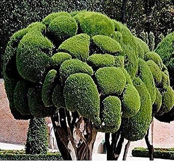 20x Cupressus Sempervirens Nadelbaum Samen Blumen Garten Pflanze Neu