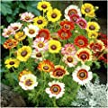 Package of 800 Seeds, Painted Daisy Mixture (Chrysanthemum carinatum) Open Pollinated Seeds By Seed Needs