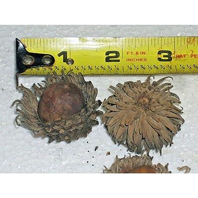 12 Sawtooth Oak Acorns Seeds #RDR02 : Garden & Outdoor