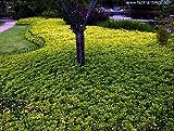 Japanese Spurge 48 Plants - Pachysandra - Hardy